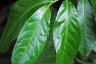 leafs1