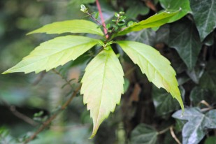 leafs2