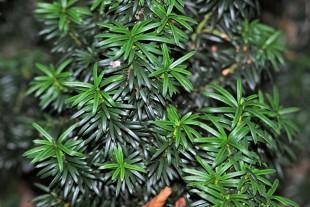 pines2