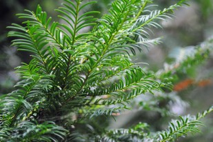 pines3