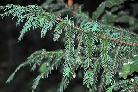 pines4